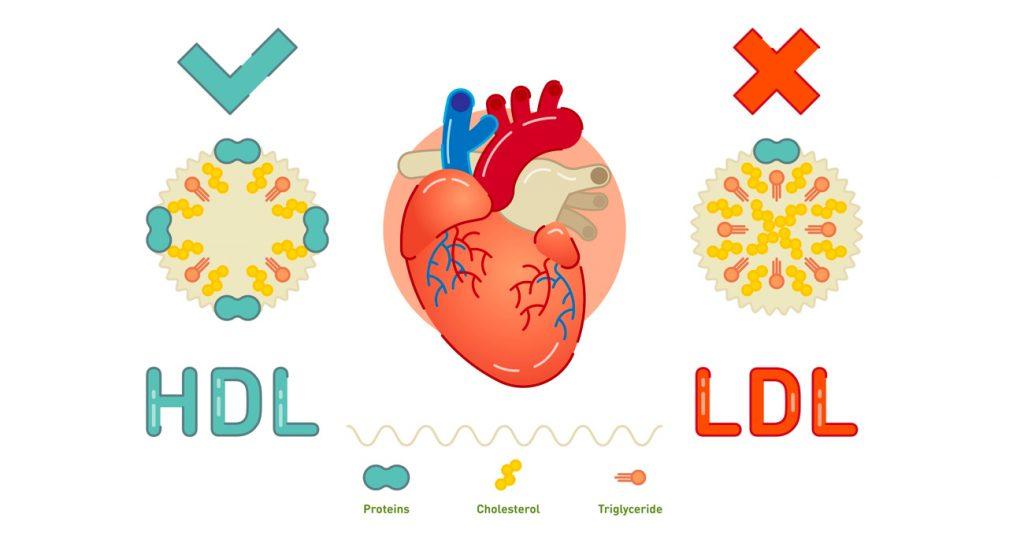 El significado del colesterol LDL y HDL
